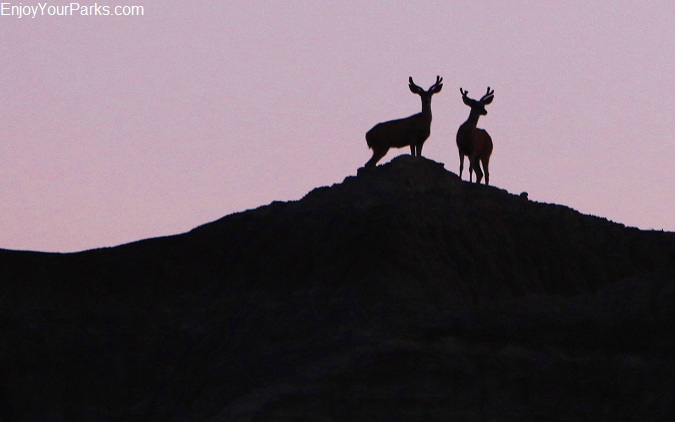 Mule Deer, Badlands National Park, South Dakota