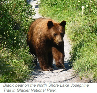 Black bear along the North Shore Lake Josephine Trail, Many Glacier Area, Glacier National Park
