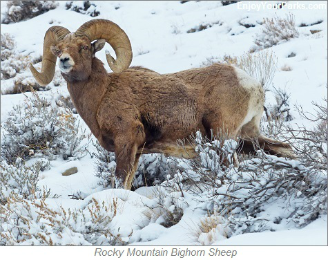 Rocky Mountain Bighorn Sheep, Charles M. Russell National Wildlife Refuge, Montana