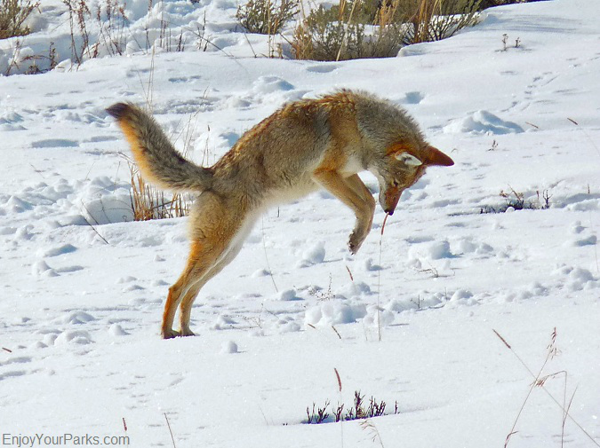 Coyote, Winter In Yellowstone Park,Yellowstone National Park