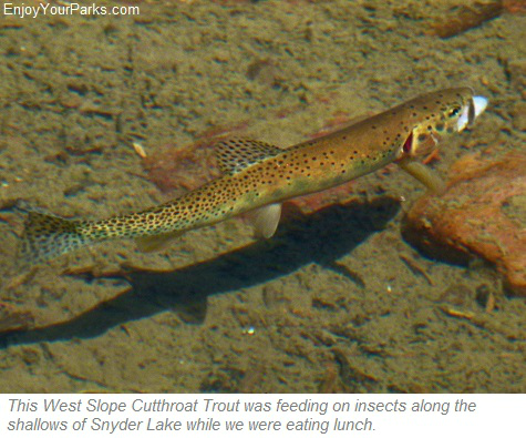 West Slope Cutthroat Trout in Snyder Lake, Glacier National Park