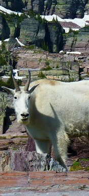 Mountain Goat, Glacier National Park Montana