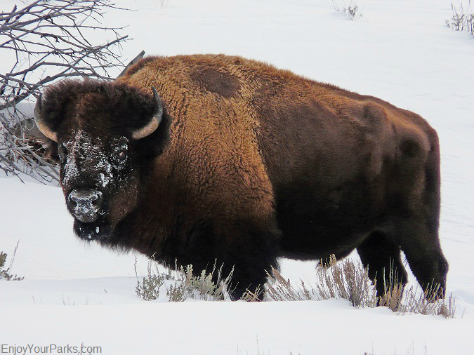 Bison, Winter in Yellowstone Park