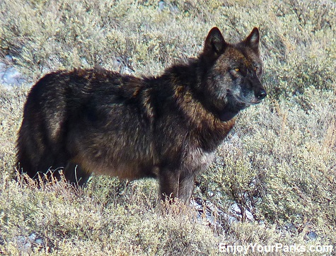 Gray Wolf, Hayden Valley, Yellowstone National Park