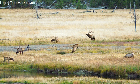 Elk herd, Madison River, Yellowstone National Park