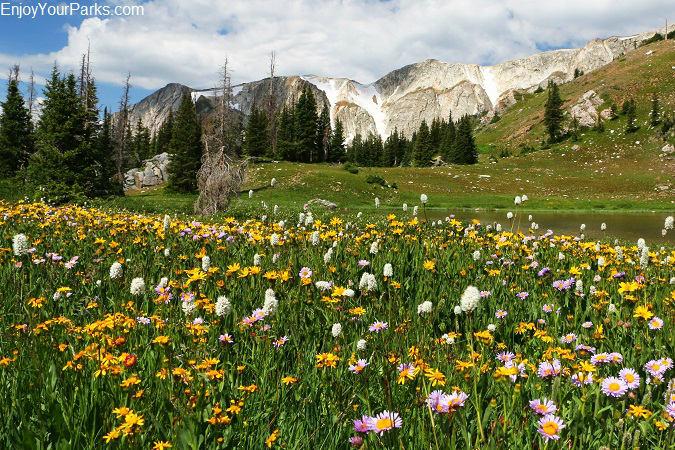 Wildflowers along the Snowy Range Scenic Byway, Wyoming