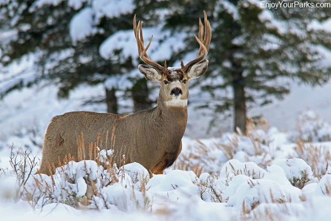 Mule deer  buck, Charles M. Russell National Wildlife Refuge Montana