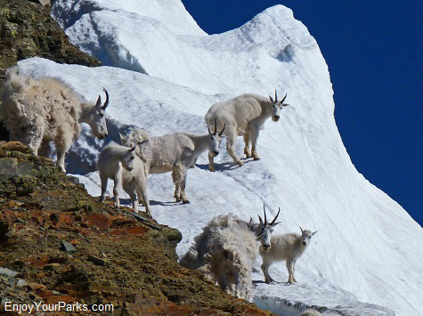 Mountain Goats on Piegan Glacier, Glacier National Park