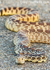 Bull snake, Theodore Roosevelt National Park, North Dakota