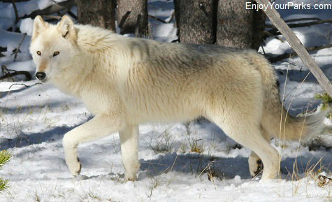 White Wolf, Yellowstone National Park