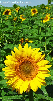 North Dakota Sunflower