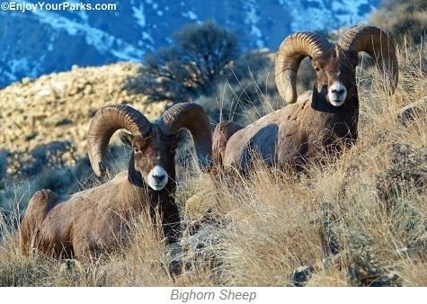 Bighorn Sheep, Paradise Valley Montana