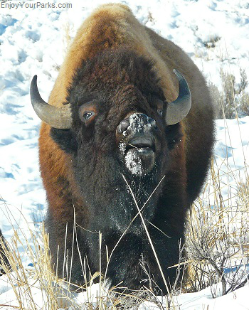 Bison, Winter In Yellowstone Park, Yellowstone National Park