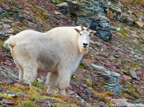 Mountain goat along the Akamina Ridge, Akamina-Kishinena Provincial Park, British Columbia, near Waterton Lakes National Park