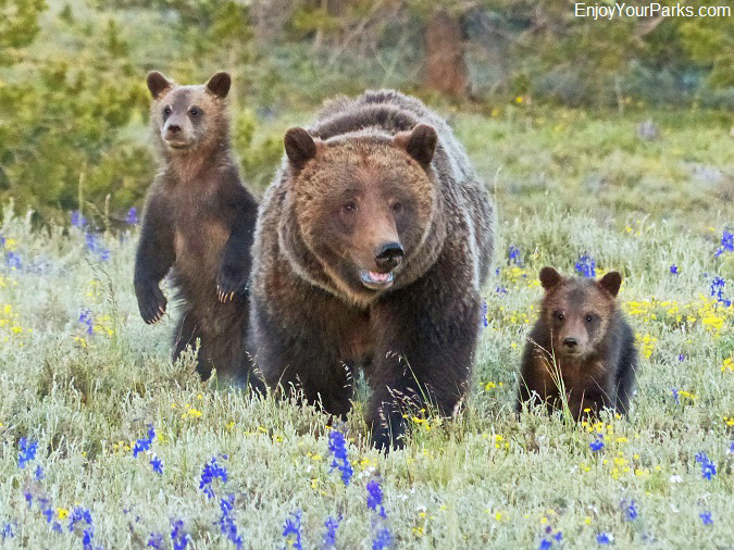 Grizzly bear sow and cubs, Grand Teton National Park, Wyoming