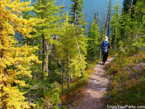 Tamaracks along Akamina Ridge Trail, Akamina-Kishinena Provincial Park