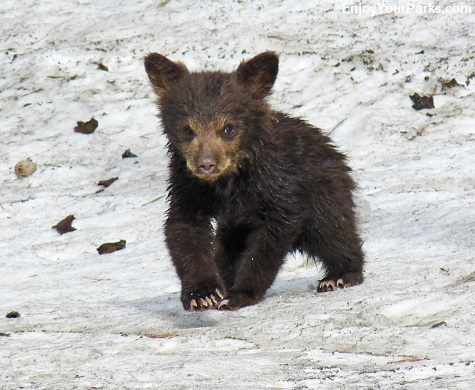 Black bear cub, Yellowstone National Park