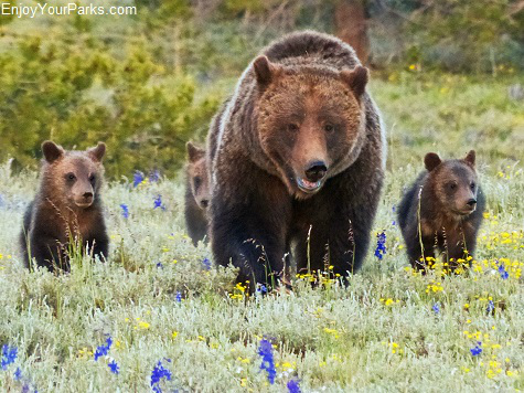 Grizzly 399 with her triplet cubs, Grand Teton National Park