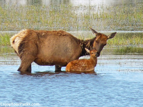 Cow and calf elk, Swan Lake, Yellowstone National Park