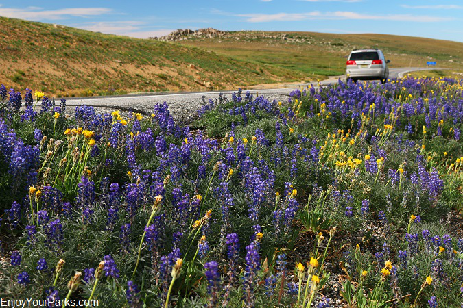 Wildflowers, Beartooth Highway Montana