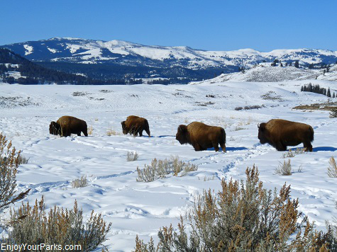 Buffalo in Lamar Valley, Yellowstone National Park