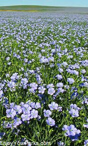Field of blue flowers, Enchanted Highway, North Dakota