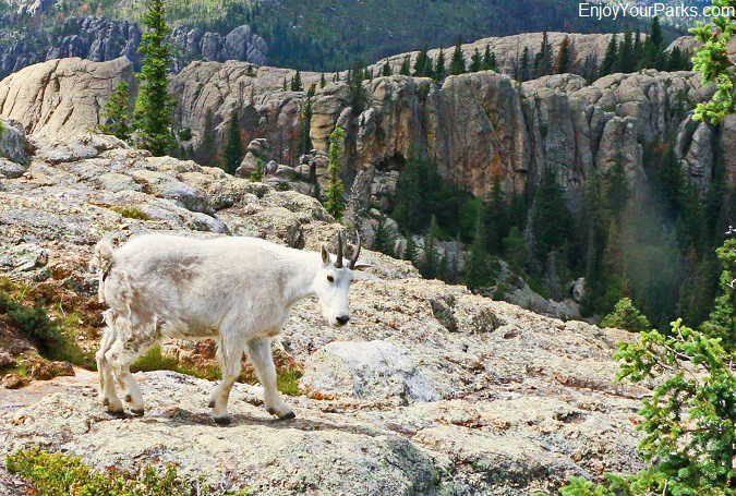Mountain goat, Harney Peak, South Dakota
