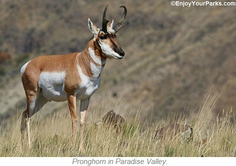 Pronghorn, Paradise Valley Montana