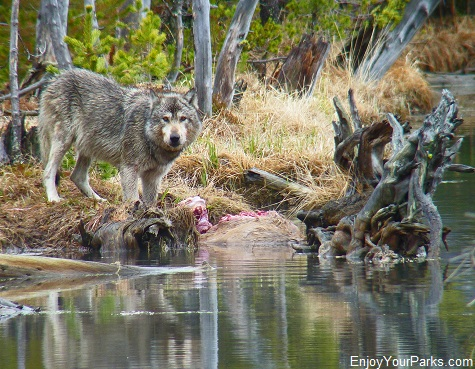 Gray Wolf, North Twin Lake, Yellowstone National Park