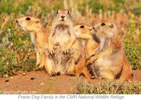 Prairie Dog Family, Charles M. Russell National Wildlife Refuge, Montana