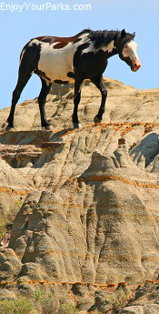 Wild horse, Theodore Roosevelt National Park, North Dakota