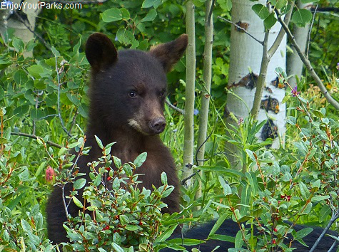 Black bear cub, Red Rock Parkway, Waterton Lakes National Park