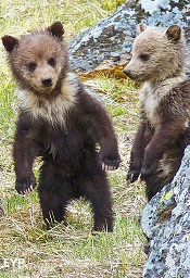 Wyoming grizzly bear cubs