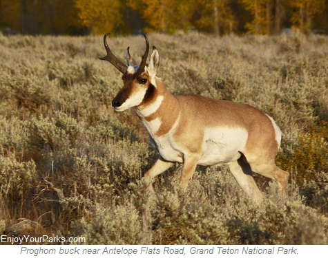 Pronghorn buck, Antelope Flats Road, Grand Teton National Park
