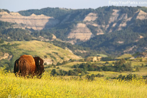 Buffalo, Theodore Roosevelt National Park, North Dakota