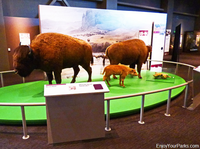 Buffalo, Early Peoples display, North Dakota Heritage Center in Bismark
