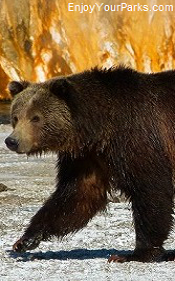 Grizzly Bear, Yellowstone Park, Wyoming