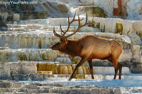Elk walking through Mammoth Hot Springs, Yellowstone National Park