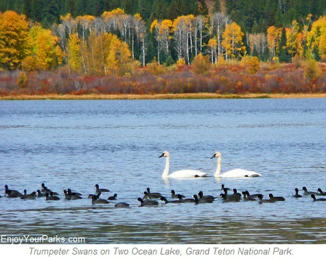 Trumpeter Swans on Two Ocean Lake, Grand Teton National Park