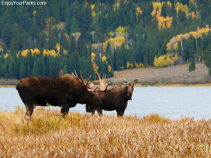 Moose along Two Ocean Lake, Grand Teton National Park