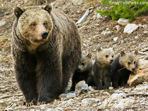 Grizzly bear sow and cubs, Yellowstone National Park Montana