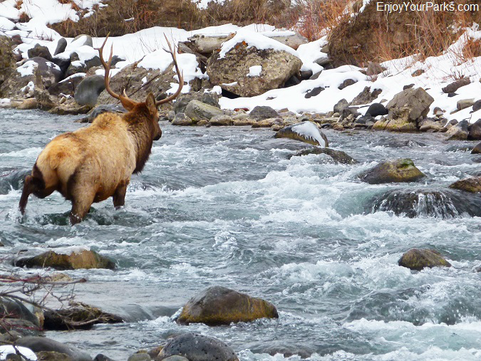 Bull elk crossing Gardner River, Winter in Yellowstone Park