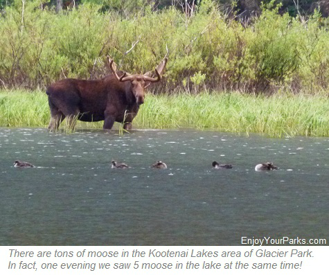 Bull moose on Kootenai Lake in Glacier Park
