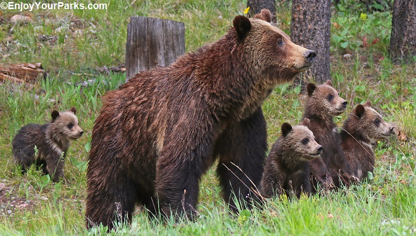Grizzly sow with cubs, Grand Teton National Park