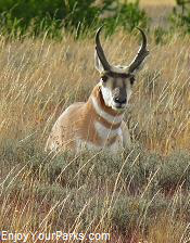 Wyoming Pronghorn