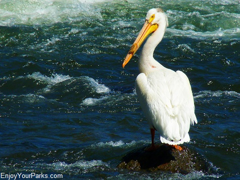 American White Pelican, Hayden Valley, Yellowstone National Park.