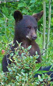 Black bear cub, Waterton Lakes National Park