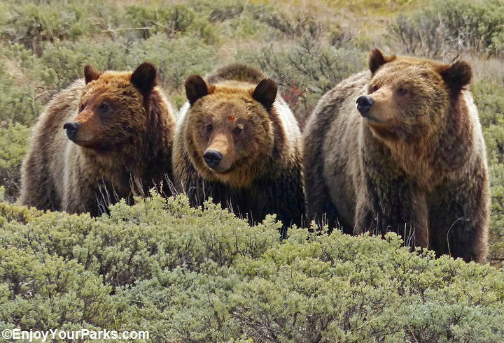 Grizzly known as Quad-Mom with two surviving cubs, Yellowstone National Park