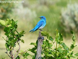 Mountain bluebird, Makoshika State Park