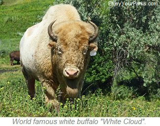 Albino buffalo White Cloud, North Dakota